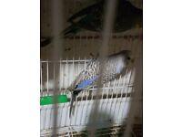 Budgie Female bird parrot