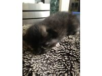 1 all black 1 black with tabby patches 1 black with white and tabby patterns £30 each ready in4weeks