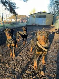 Beautiful Rotweiller puppies for sale