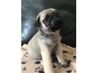 Pug puppies ready for homes