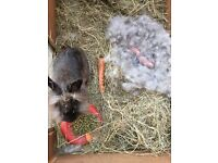 Mother lionhead rabbit and 5 babies and cage and accessories