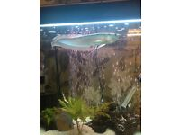 """Silver arowana round about 12"""" long eating well on frozen foods and pellets"""