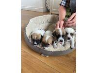 Mini Jack Russell Puppies