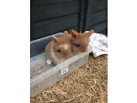 DM lionhead babie rabbits