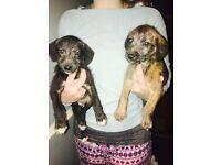 Bedlington / Whippet. First cross. Lurcher pups