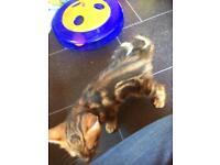 Full pedigree Bengal kitten for sale