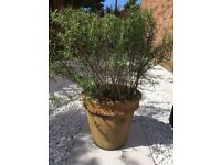 Rosemary Bush in Cottage Garden Pot
