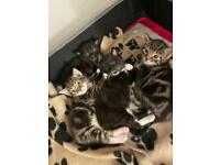 *reserved* Charteaux x Tabby cross kittens