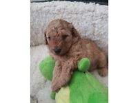 Red F1B Cavapoo Puppies For Sale