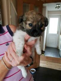 Puppies for sale jackchow