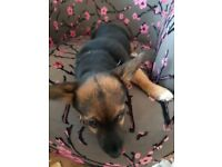 Chihuahua x jack Russell. 5 month's all injections ect up too date. Comes with cage bed ect