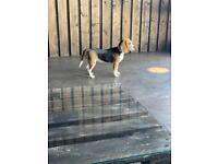 Beagle Coco