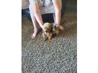 Last male pup