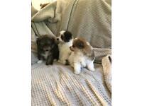 Pomapoo puppies 7 weeks old