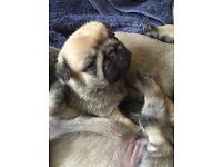 Gorgeous 3/4 Pug Puppy