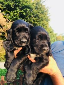 Gorgeous black cocker spaniel Puppies