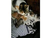 Beautiful family raised kittens