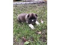 akita puppy 🐶