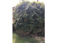 Large established bamboo - ideal for screening or landscaped gardens