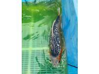 Ginrin asagi Japanese koi carp fish