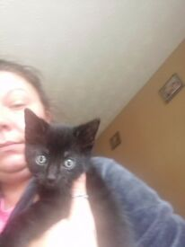 Black male kitten for sale 8 week old flead and wormed and litter trained