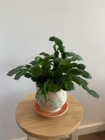 House Plant - with lovely old plant pot