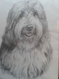 Bearded Collie Picture by M.J.Sibley