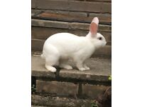 Mini loop rabbit