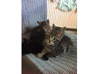 Kittens for sale 2 boys and 2 girls