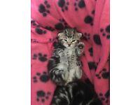 Bengal kittens 2x Girl 1x Boy