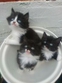 BLACK & WHITE KITTENS FOR SALE, FLUFFY AND PETITE,GORGEOUS £65 ,READY 28/4