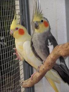 Aviary Cleanout - Breeding pair and young Warialda Gwydir Area Preview