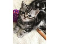 British shorthair silver tabby kittens