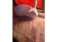 female dutch x rabbit