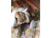Baby Lionhead x Mini Lop bunnies for sale.