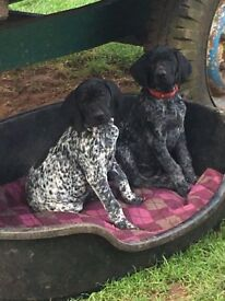 German Shorthaired Pointer pups