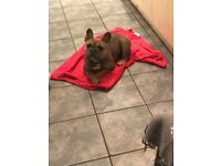 French bulldog 18months old