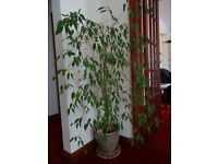LARGE WEEPING FIG TREE INDOOR HOUSE PLANT