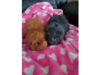 2 male guinea pigs, year and a half old .