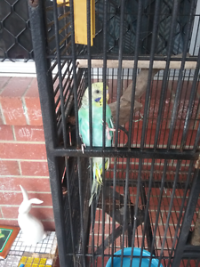 Lost Budgie Manunda Cairns City Preview