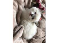 Seal mitted ragdoll boy for sale