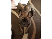 Female French Bulldog 18mths old
