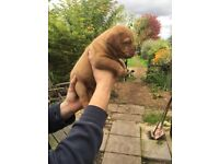Outstanding Pups Available