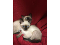 Beautiful Siamese Kittens for sale!