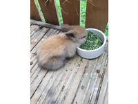 Baby lionhead rabbits