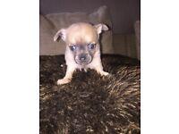 8 week chihuahua male pup