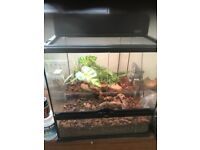 Crested gecko with full setup