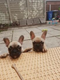 Kc Registered Chocolate Fawn Triple Carrier French Bulldog Males x2 TAKE HOME TODAY!!!!