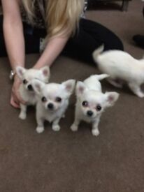 cute chihuahua puppies for sale *****only 2 left*****