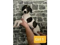 3 beautiful girl whippet pups for sale
